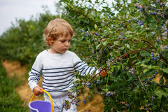 3 anni del ragazzo di mirtilli di raccolto sulla bacca organica sistemano Fotografia Stock