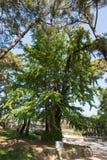500 anni dell'albero di ginko Fotografia Stock Libera da Diritti