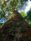 100 anni di albero Fotografie Stock