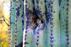 Annidando in un cactus Immagini Stock Libere da Diritti
