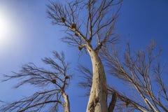 Annidi in un albero asciutto sotto il cielo blu, Wafra Kuwait immagine stock libera da diritti