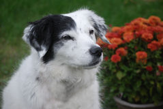 Annie in Autumn. White and black mixed breed dog with autumn flowers Stock Image