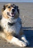 Annie der Hund auf dem Strand Lizenzfreie Stockbilder