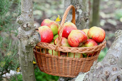 Annie Elizabeth apples in a wicker basket Stock Image