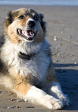 annie strandhund Royaltyfria Bilder