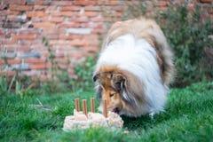 Anniversaire eaing de gâteau de colley rugueux mignon Image stock