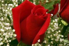 Anniversaire Rose avec le souffle de la chéri Photographie stock libre de droits