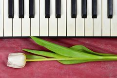 Anniversary card with tulip and piano keyboard. Anniversary card with white tulip and piano keyboard Royalty Free Stock Photos