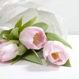 The Anniversary pink tulip flower bouquet wrapped in white paper Royalty Free Stock Photography