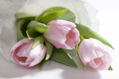 The Anniversary pink tulip flower bouquet wrapped in white paper Royalty Free Stock Photo