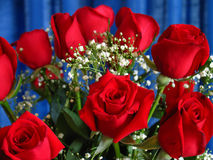 Anniversary Roses. In front of bold blue curtain Stock Photography