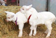 2015 - Anno della capra Fotografia Stock