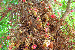 Сannon ball tree. Stem, flowers and fruits. Bottom view Royalty Free Stock Photography