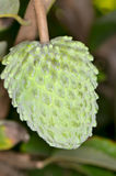 Annona Stock Images