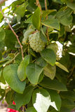 Annona cherimola fruit tree. Stock Photography