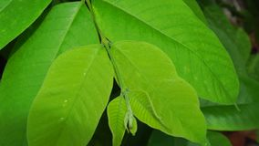 Annona leaves stock footage