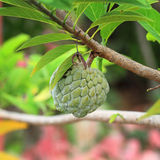Annona squamosa. Custard apple fruit,Annona squamosa Stock Photo