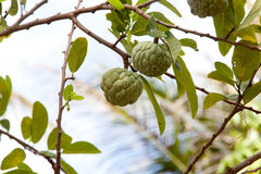 Annona squamosa or Custard apple fruit. On tree in garden Stock Images
