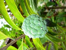 Annona squamosa. Fruit especially in Indonesia Stock Photo