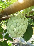 Annona squamosa fruit Stock Photos