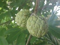 Annona squamosa - Sugar apple tropical Thai fruit. The tree with sugar apple tropical Thai fruit Stock Photo