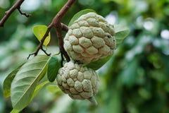 Annone-Baum und -früchte lizenzfreie stockbilder
