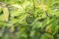 Annone, die auf einem Baum wächst Stockfotografie