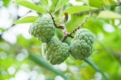 Annone u. x28; annona& x29; - eine berühmte Frucht in der tropischen Region Lizenzfreies Stockfoto