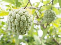 Annonefrucht, Annona squamosa Stockfotos
