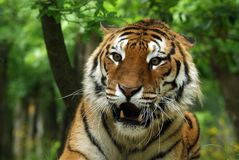 Annoyed Bengal Tiger Royalty Free Stock Photo