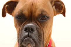 Annoyed Boxer Stock Photos