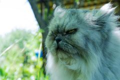 Annoyed cat with an angry face, portrait of disgruntled pet, evil looking royalty free stock images