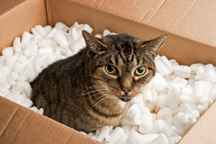 Annoyed cat box Royalty Free Stock Photo