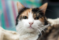 Annoyed cat portrait. Kitty posing angry after being awakened Stock Photography