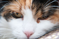 Annoyed cat portrait Royalty Free Stock Photography