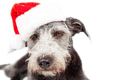 Annoyed Dog Wearing Santa Hat With Snow Royalty Free Stock Images