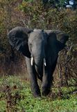 The annoyed elephant. The annoyed elephant, looking blank, runs directly on us Royalty Free Stock Image