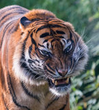 Annoyed kitty. Tiger with a warning-face Royalty Free Stock Photos