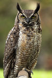 Annoyed Owl. Closeup of a Great Horned Owl with a grumpy expression Royalty Free Stock Photography