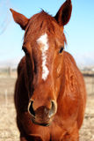 Annoyed Quarter Horse. A sorrel quarterhorse mare with annoyed look on her face stock images