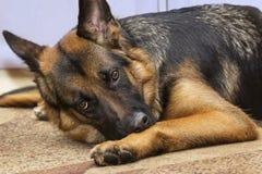 Annoyed shepherd dog. Gaze of an annoyed shepherd dog lying on the carpet indoors Stock Photography