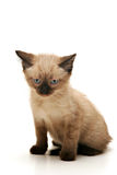 Annoyed Small Kitten Royalty Free Stock Photos