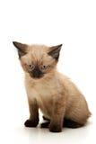 Annoyed Small Kitten. Small siamese kitten looking annoyed, on white background Royalty Free Stock Photos