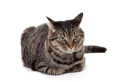 Annoyed Tabby Cat Stock Photography