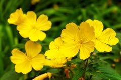 Annua hermoso amarillo del Lunaria - honradez anual en jardín Primer Fotografía de archivo