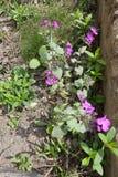 Annua inculto del Lunaria con las flores violetas brillantes Fotos de archivo libres de regalías