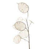 Annua Lunaria, ασημένιες εγκαταστάσεις δολαρίων Στοκ Εικόνες