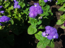 Annual Ageratum Blue Mink. Plants bear large, fluffy, powder-blue flowers spreading wide as it grows Stock Photos