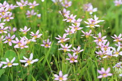 Annual Blue Eyed Grass Royalty Free Stock Photography