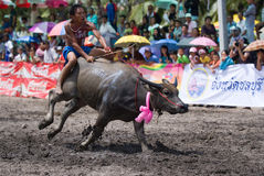 Annual Buffalo Races in Chonburi 2009 Stock Images